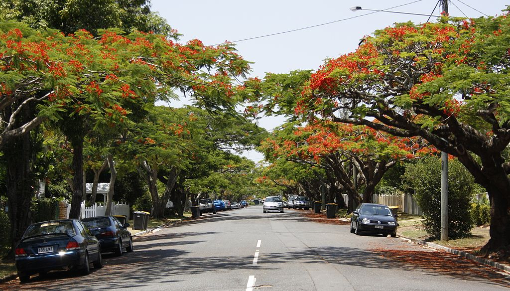 Poinciana Trees Ascot Brisbane